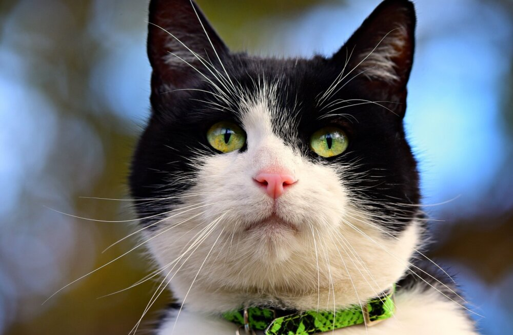 Sabriina lugu | Kass kaotas ühteaegu nii pere, kodu kui ka tervise: arstid päästsid aknast alla kukkunud ja eutaneerimisele viidud kodukassi
