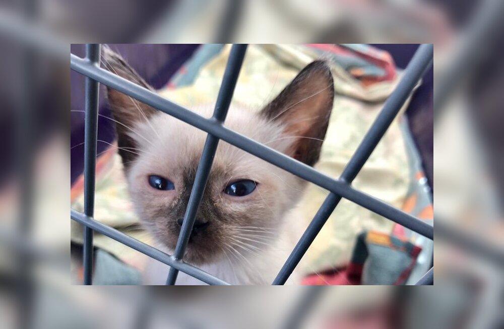 Pisikese kassi suur mure: Blanco kliinikuarve on pea sama suur kui ta ise