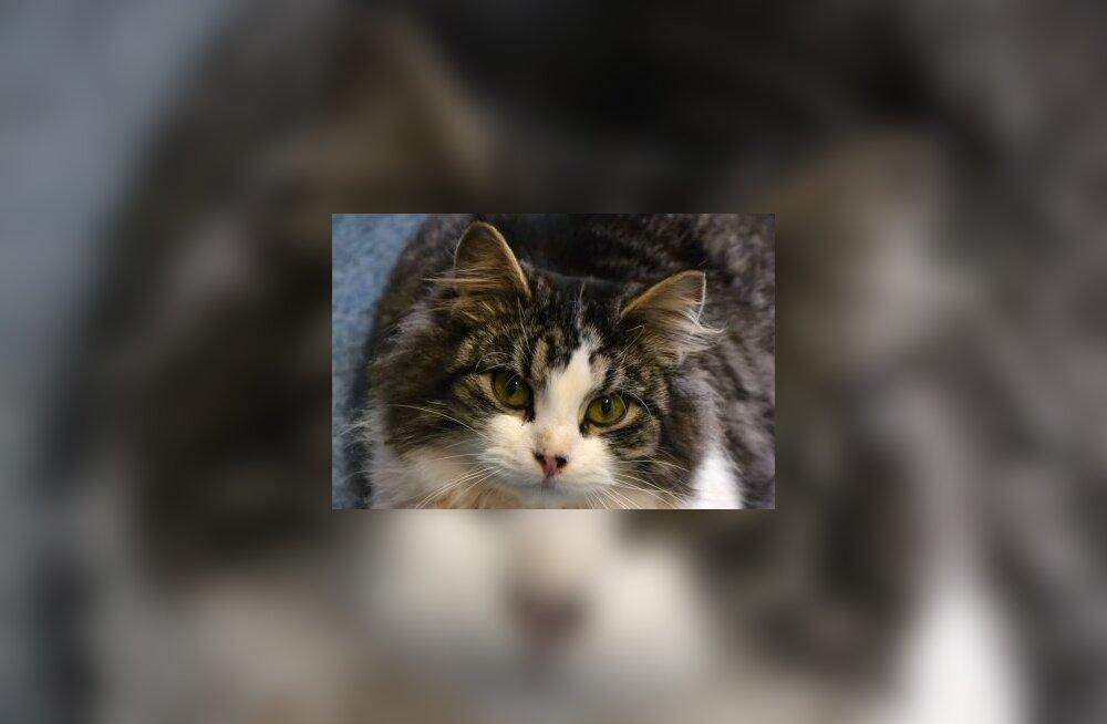 Peaaegu liikumisvõimetuna leitud kassi ootab ees lausa 700 eurot maksev uuring