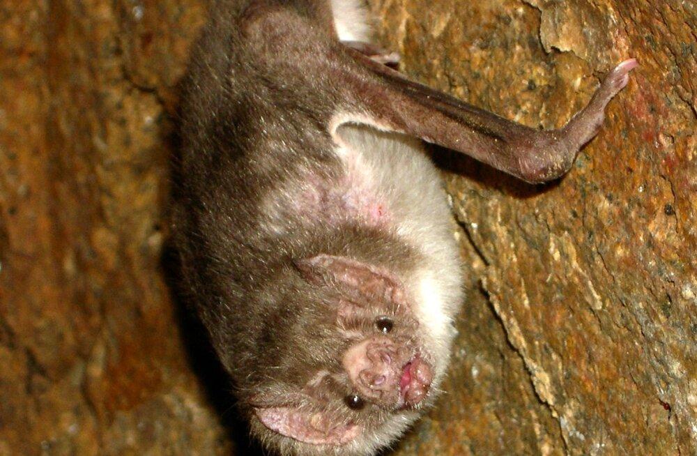 Tiivulised vereimejad: kuidas suudavad vampiirnahkhiired vaid verest toitudes ellu jääda?