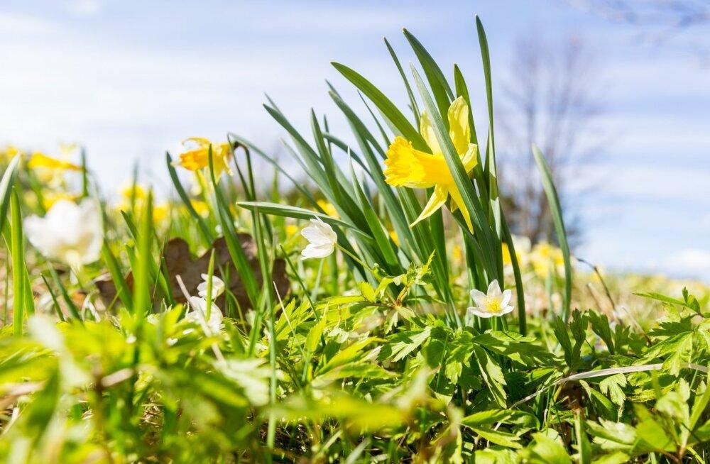 Kevad käes! Selleks nädalaks lubatakse kuni 16 kraadi sooja
