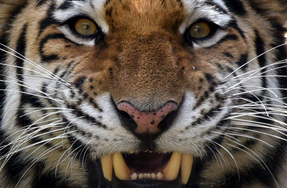 Amuuri tiiger tappis Zürichi loomaaias külastajate ja personali silme ees oma talitaja