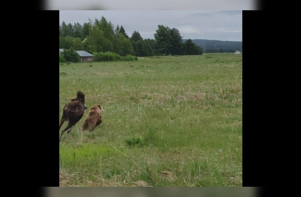 Hämmastav VIDEO | Vaatepilt, mida näeb vaid Alaskal: hommikune metsloomade peredraama toimub otse koduakna all
