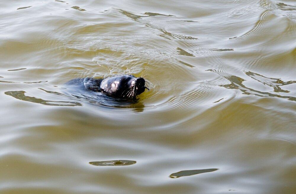 Hülgepoeg naudin kevadet, püüab truubist kala ja pikutab kividel päikese käes