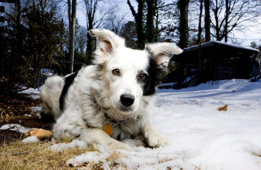 Maailma kõige targem koer suri: tundis üle 1000 sõna