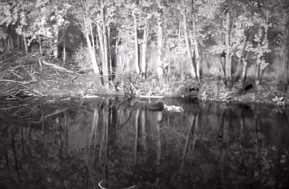 VIDEO | Looduskaamera salvestas haruldase juhtumi: vees maiustanud kobras sai puuga pähe