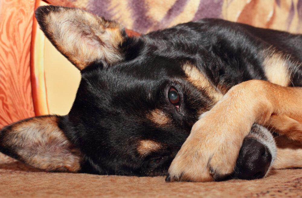 Huvitav komme: miks koerad sageli käppadega oma nägu peidavad?