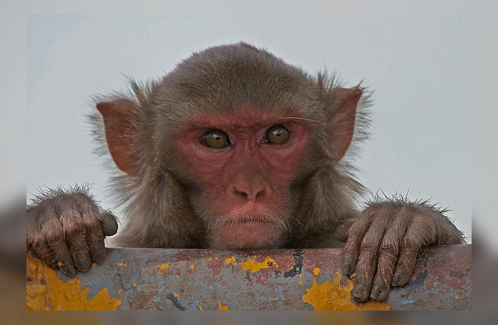 Pähkel teadlastele: Miks ahvid ei räägi nagu inimesed?
