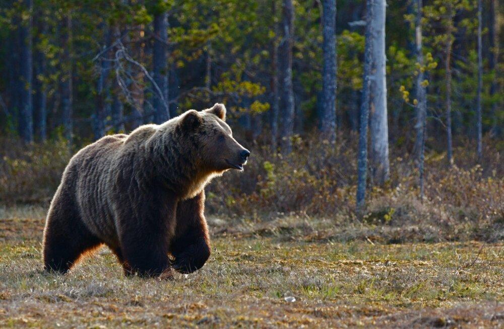 ВИДЕО | Почти Олимпиада-80: дикий медведь придал ускорение бегунье