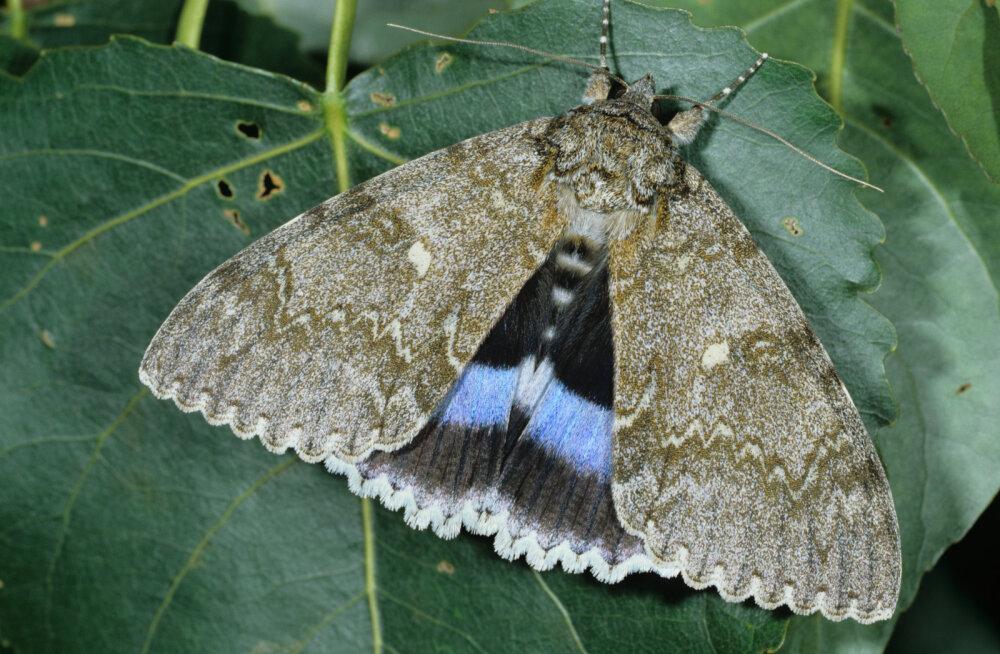В Чернобыле нашли бабочку размером с птицу