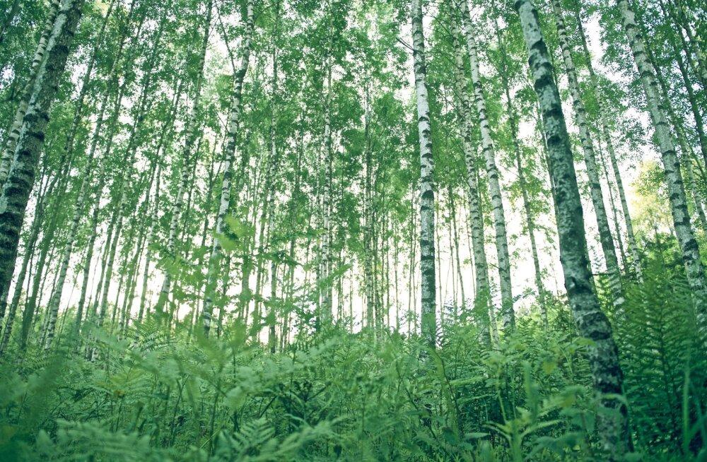Kaselehti ja -pungi saab kasutada nii toidu kui ravimina