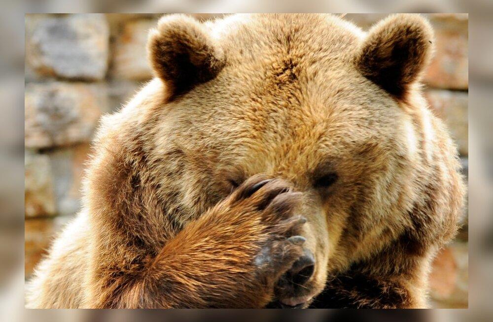 Mati Kaal soovitab: karuga kohtudes tehke ennast võimalikult suureks ja märgatavaks