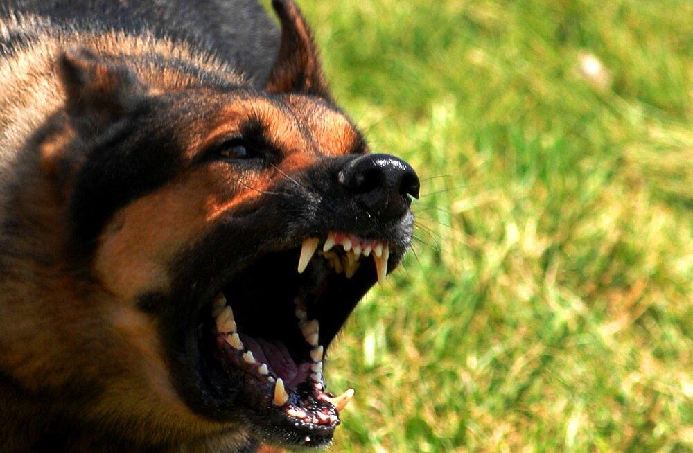 Vihane lugeja: kolleeg, miks sa oma koera kontorisse tassid?