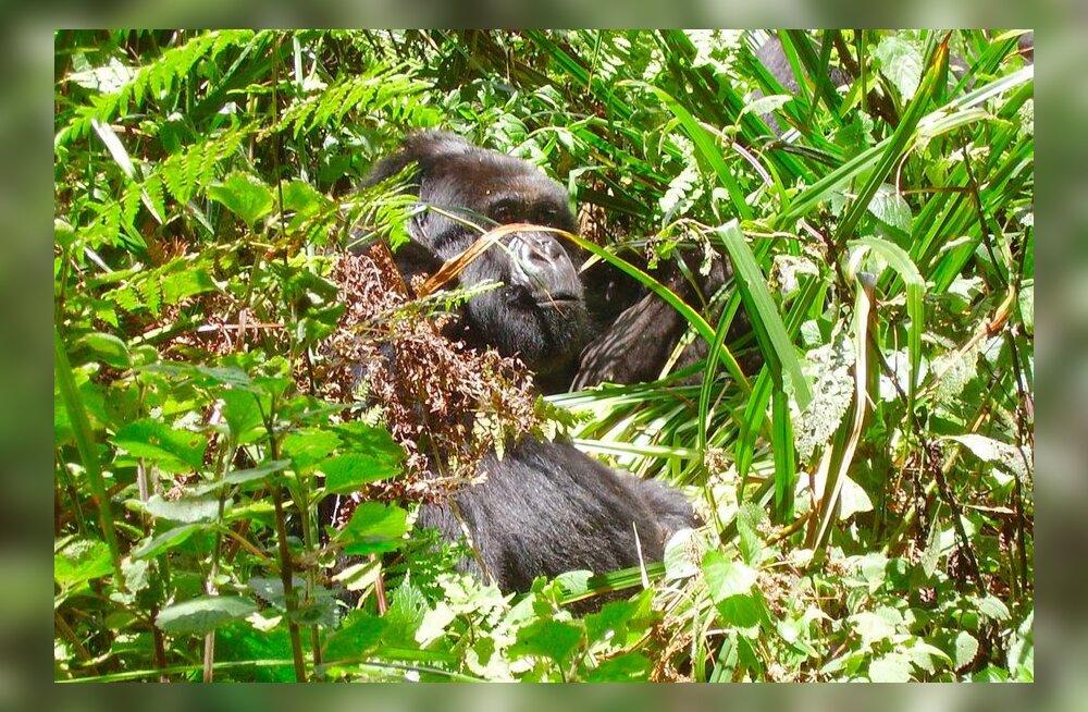 Reisijutt: Rwanda, gorillade kodu