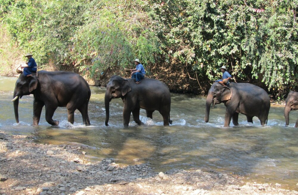VIDEO | Lõbusõit või midagi muud: kas sa istuksid veel ka järgmine kord elevandi selga?