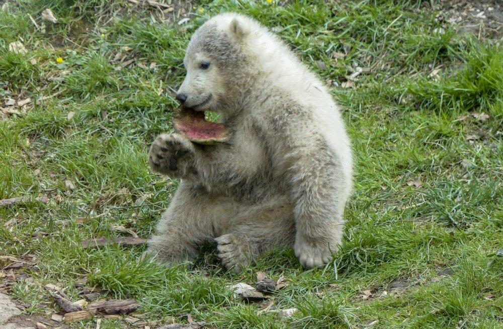 VIDEO | Inglismaal sündis eriline ja kauaoodatud jääkarupoeg
