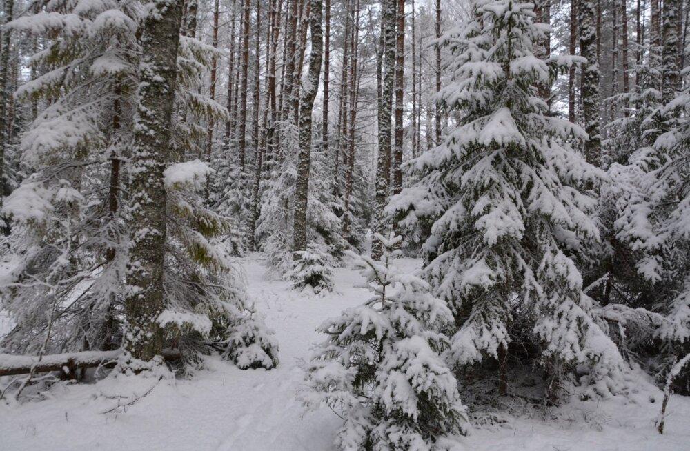 RMK kutsub selgi aastal jõulupuud metsast ise tooma