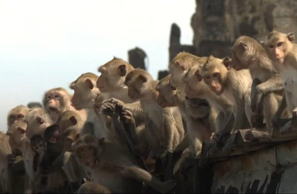 """""""Планета обезьян"""" в реальности: тысячи обезьян захватили город"""
