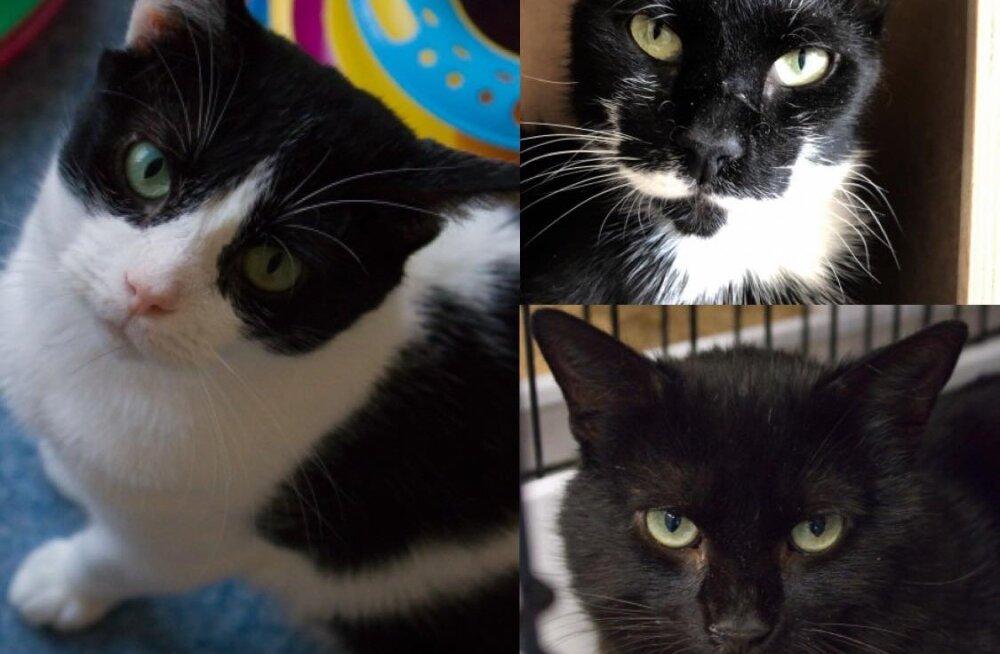 Tomsi, Miska ja Kaspari lugu | kolm isemoodi kassipoissi otsivad endale hoiukodu