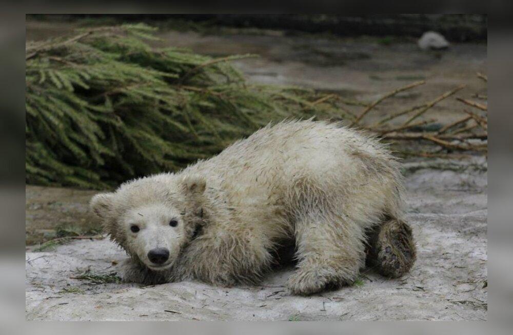 FOTOD: Tallinna loomaaia jääkarulapse nädalavahetus möödus lume peal hullates
