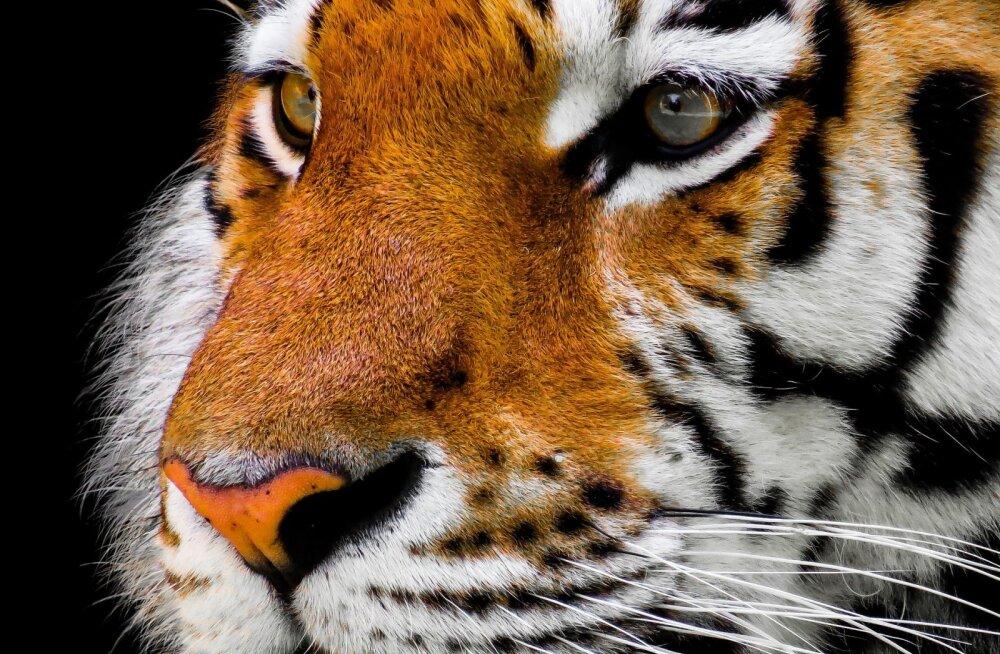 Tallinna loomaaia asukate seast lahkus amuuri tiiger Speige