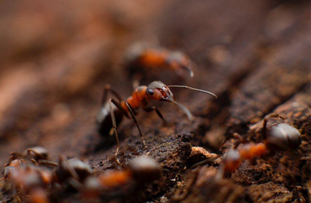 Surmav seen teeb sipelgatest zombid ja kaaperdab nende lõuad