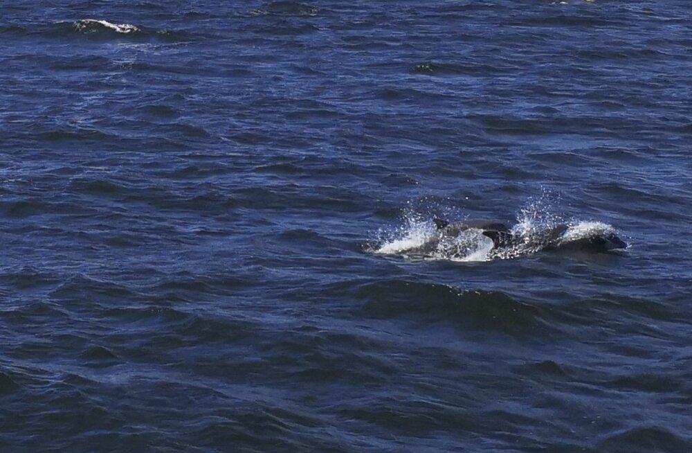 Delfiinid Kopli lahes