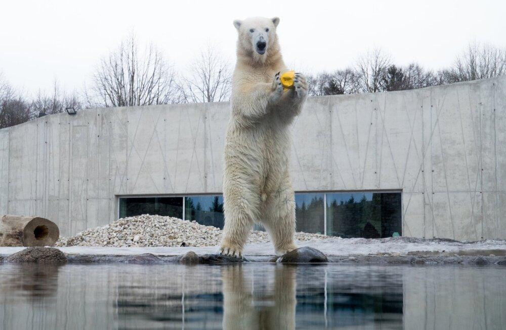 Jääkaru Tallinna Loomaias