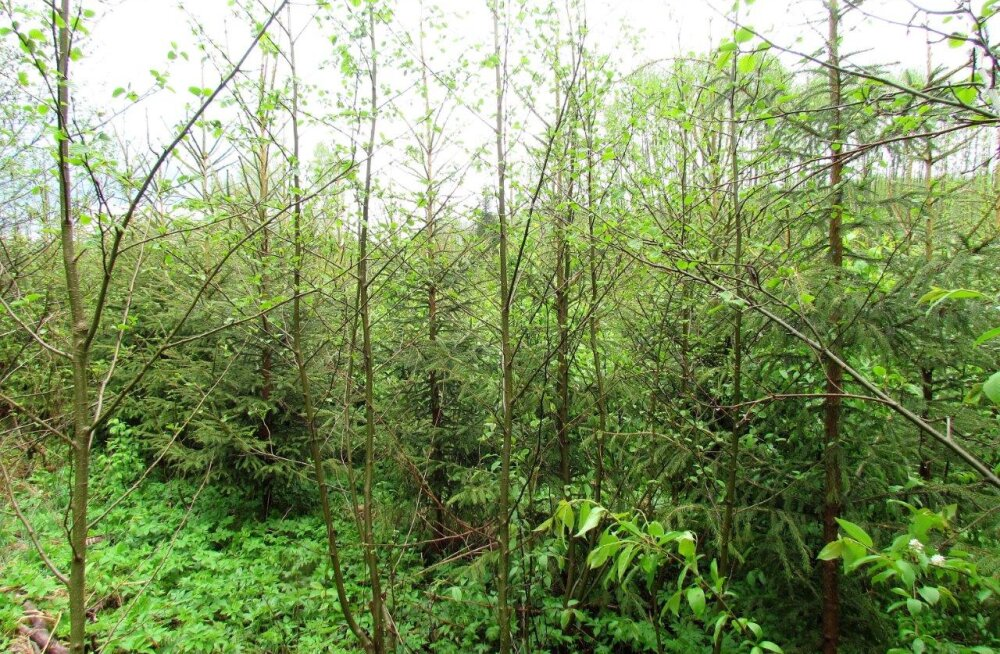 Et noorendikust kasvaks mets