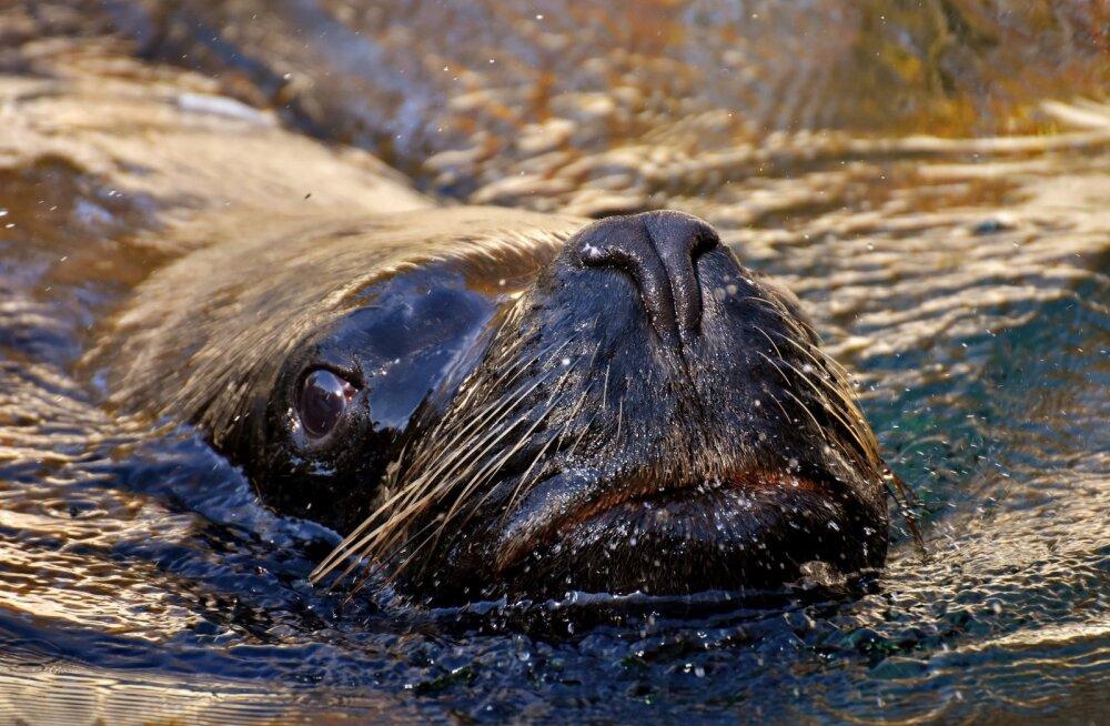 VIDEO   Vaata imearmsat videot, kuidas hallhülged rannaribale poegima kogunevad!