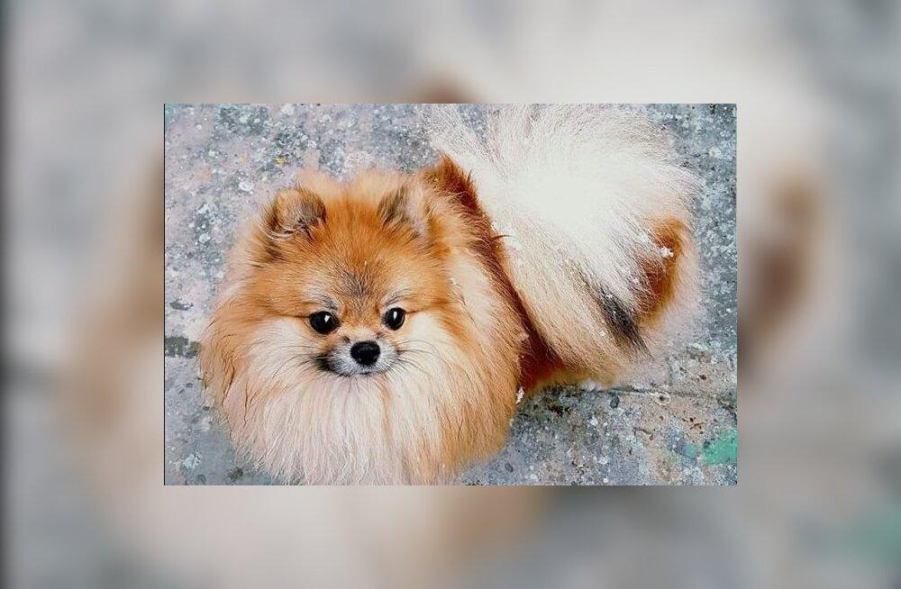 Pärnus kadus väike koer, kes vajab oma ravimeid. Leidjat ootab vääriline vaevatasu