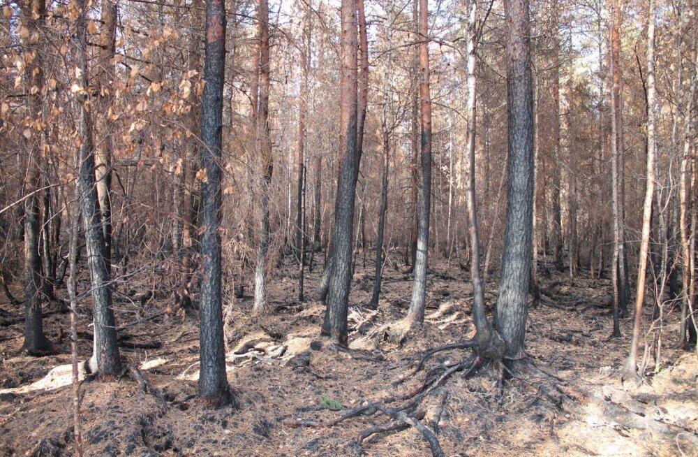 Suurpõlengus hukkunud mets Aegviidu lähistel. Kui tuli on kahjustanud ainult puukoort ja kambiumi alt on puit terve, sobib see saagimiseks ja ka palkmajade ehituseks.