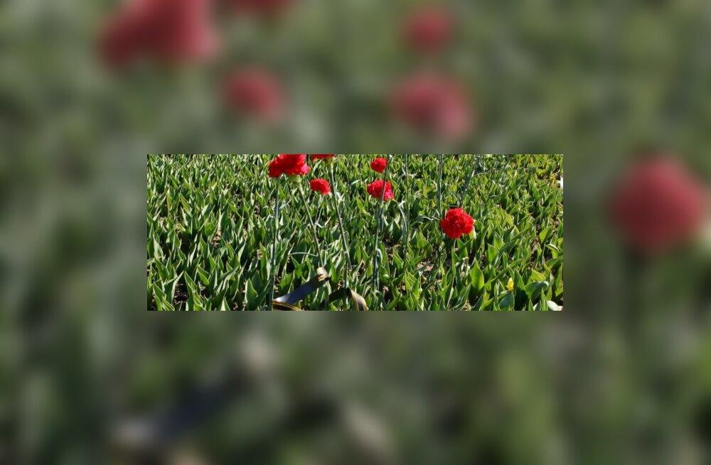 ФОТО: Как переезжали цветы с Тынисмяги