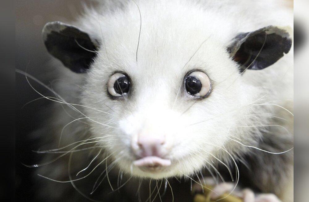 Haigustest vaevatud kõõrdsilmne opossum Heidi pandi magama