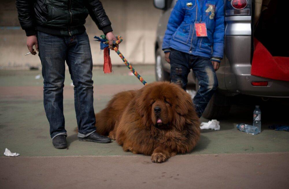 Üllatus Hiina perekonnas: koera pähe võetud lemmikloom osutus hoopis karuks