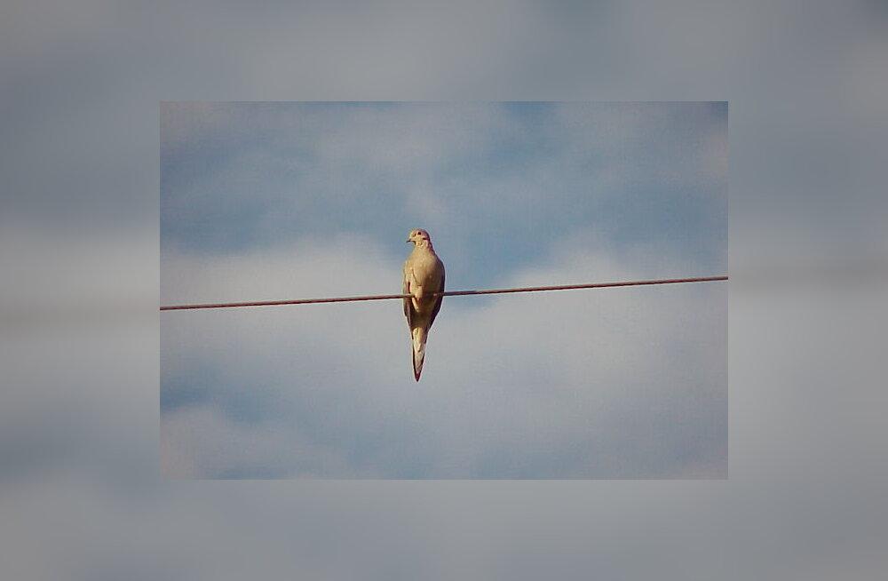 Lindudel on mitu head põhjust, miks traatidel istuda