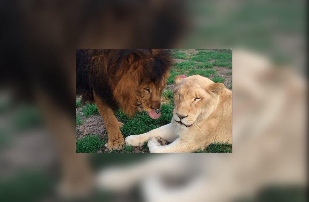 Armastus, mis päästis elu! Lõvi oli surmasuus, kuid kaaslase leidmine andis tema elule uue mõtte