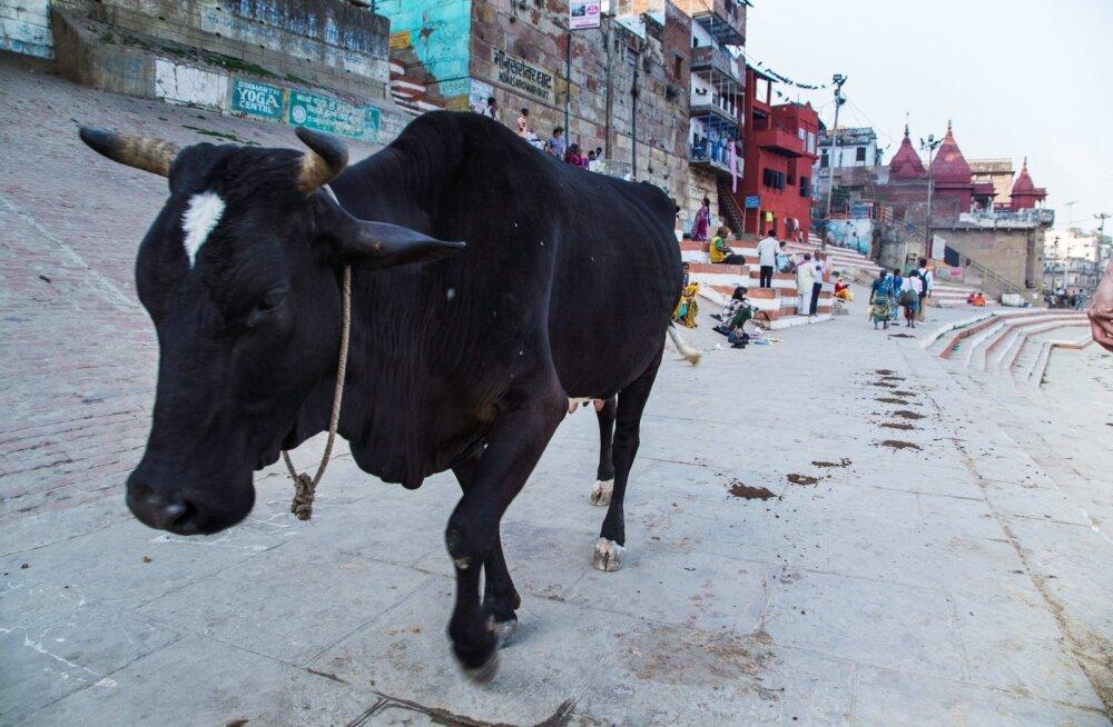 India peaminister mõistis hukka inimeste tapmise pühade lehmade kaitsmise nimel