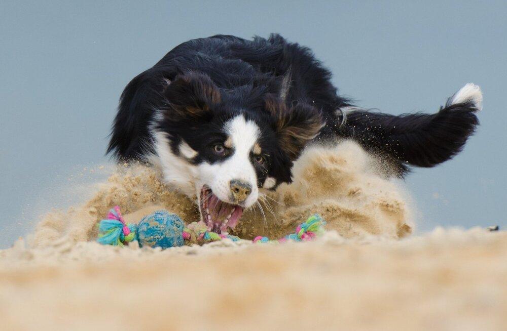 Agressioon, frustratsioon, jaht või lihtsalt mäng: mida tähendab mänguasja intensiivne sakutamine?