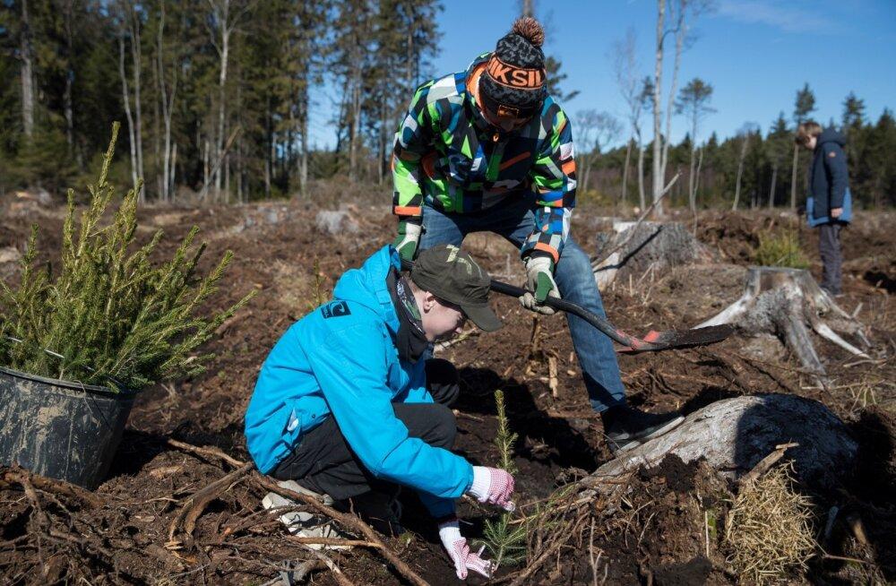 Tänavu aprillis alustas RMK metsauuendustöödega ja appi kutsuti ka vabatahtlikud. Viimsi poolsaarel pandi mulda 4000 kuuske, mida aitasid istutada kooliõpilased.