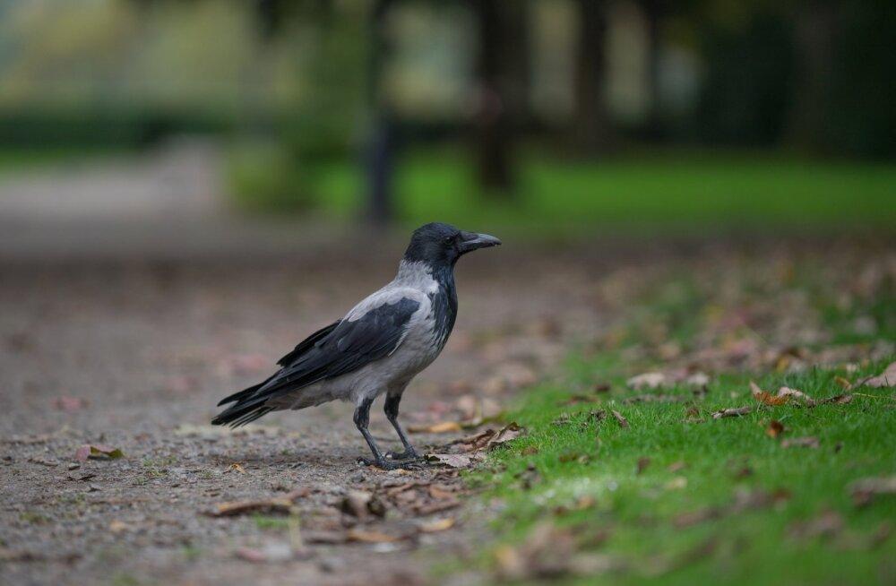 ВИДЕО | В Латвии ворона помогла ежу перейти через дорогу