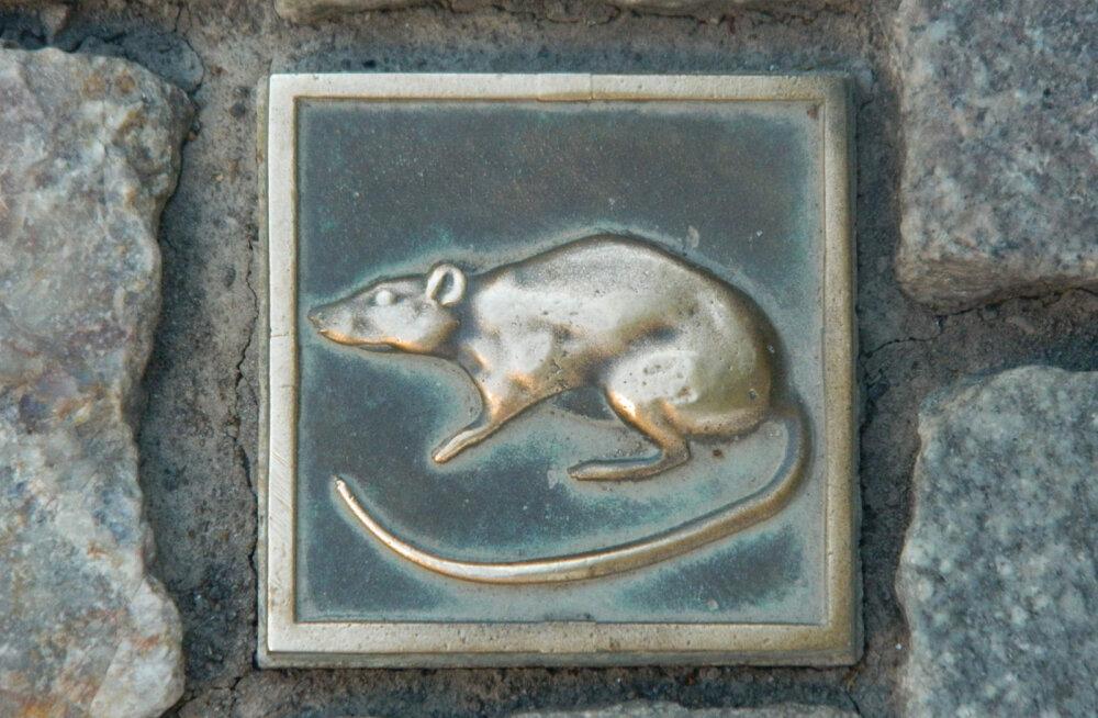 Почему в немецком Хамельне так боятся крыс