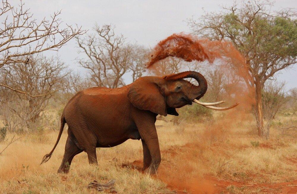 Loodusest püütud elevantidega kauplemine on nüüd keelatud: elevante kinni püüda ei tohi