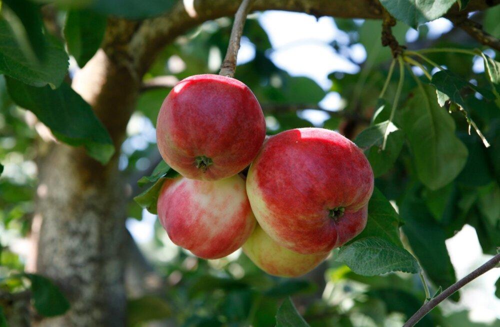Рецепт: яблоки запеченные с творогом