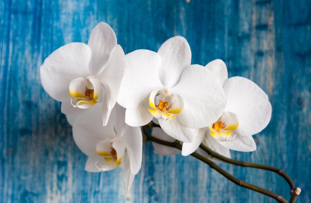 Kui oled algaja, vali kasvatamiseks just see leplik orhidee