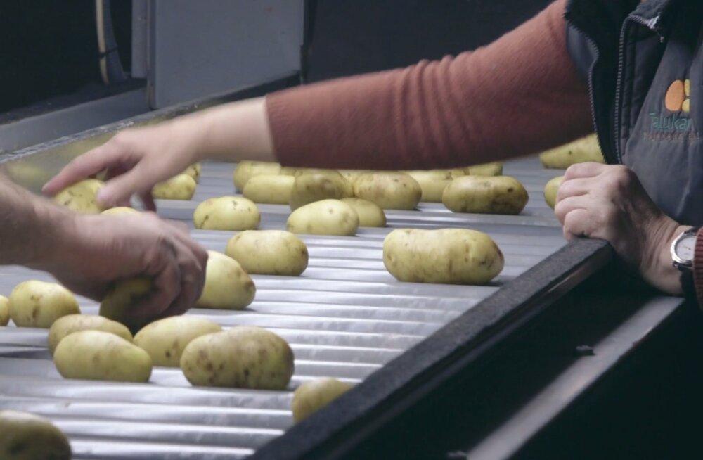VIDEO | Vaata, kuidas masinate ja töökäte abil kartul pakendisse saab