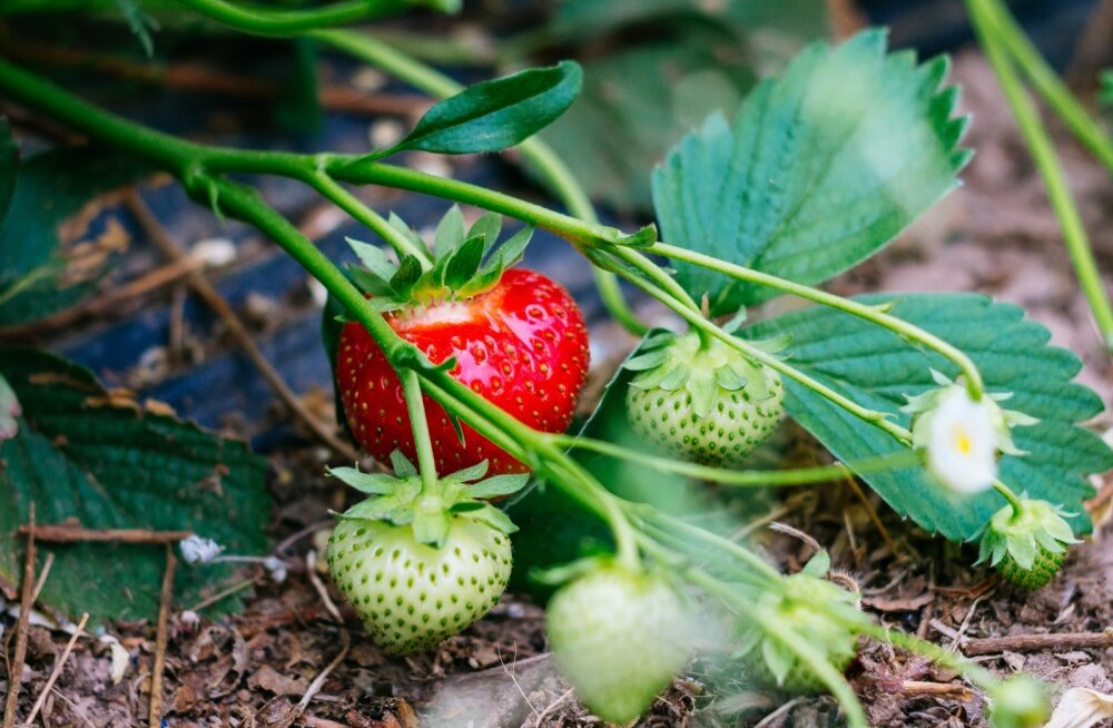 AranFarming maasikakasvatus