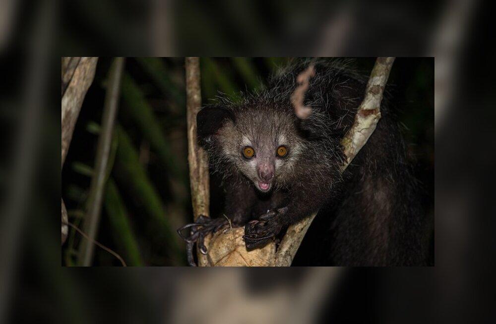 Alkoholilembus võib olla primaatide seas laialt levinud