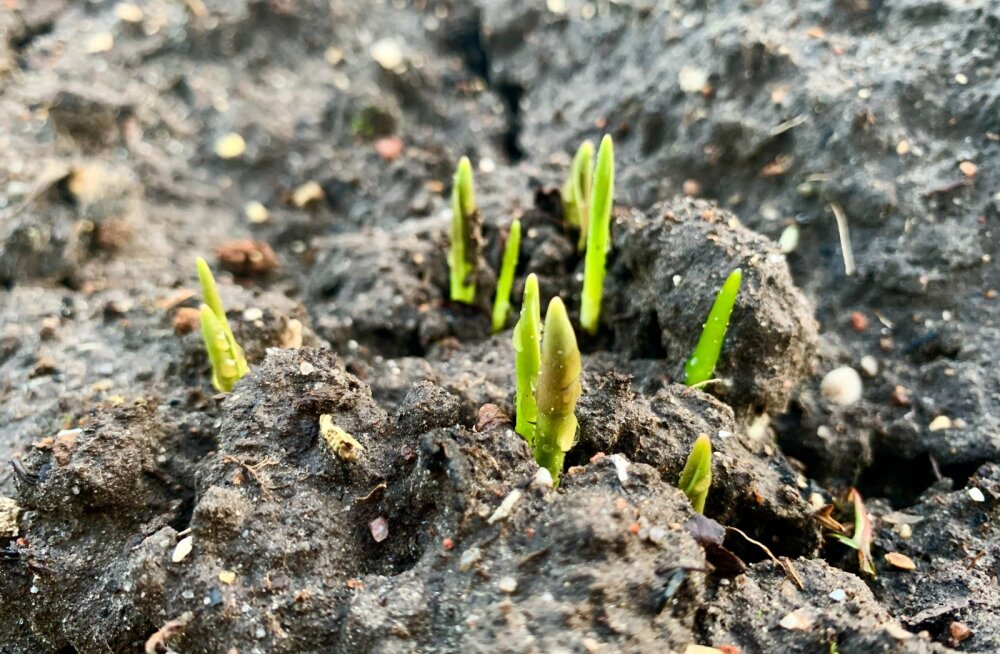 Jaanarikuu näitab kevade märke
