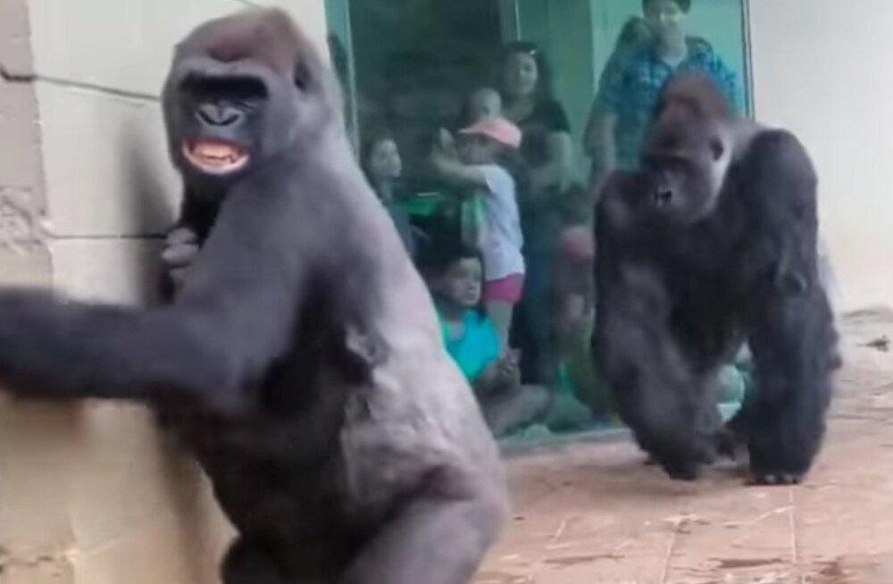 VIDEO | Kellele meeldiks vihmane ilm? Ilmselgelt neile gorilladele mitte